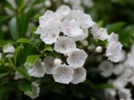 12 Leach garden-Kalmia latifolia 'Elf' Photo - Scott Hoelscher